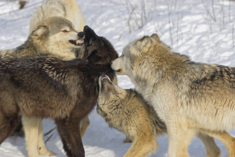 Dogs Dominance