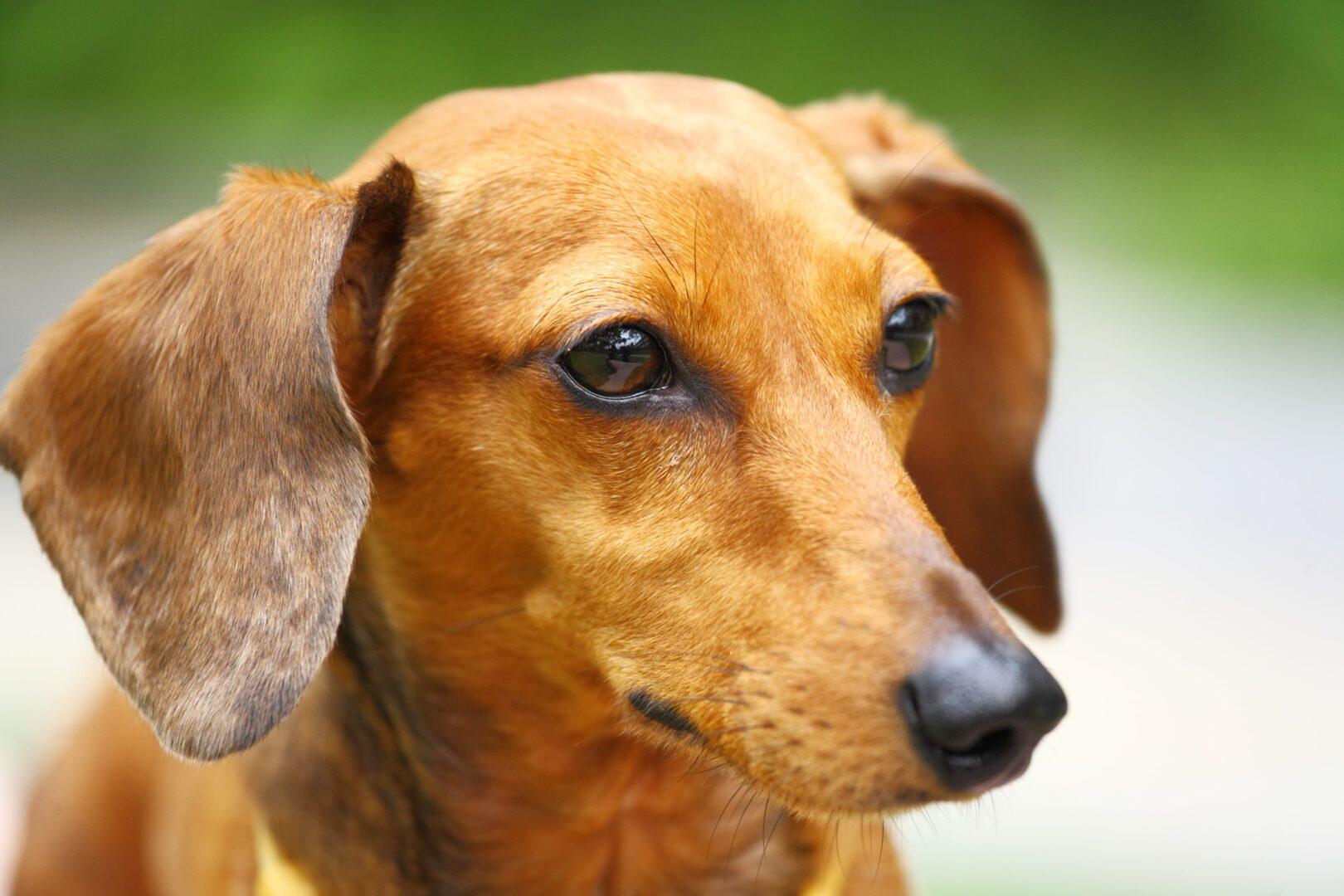 Basschshund Dog