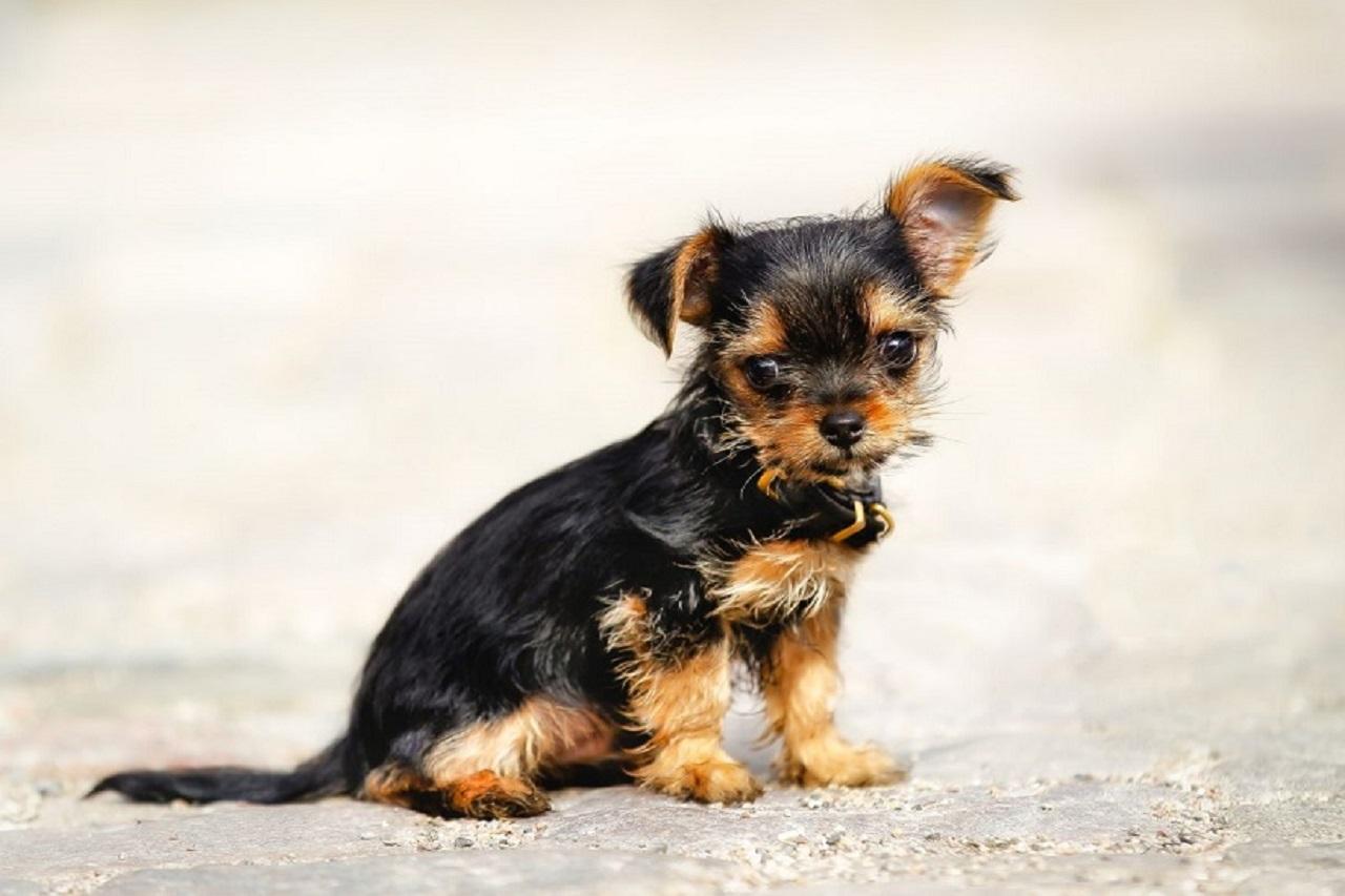 Chorkie Dog