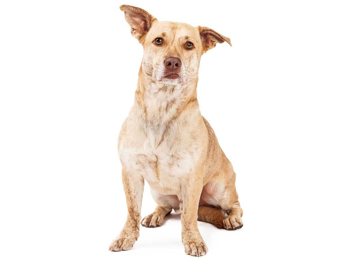 Corgidor Dog
