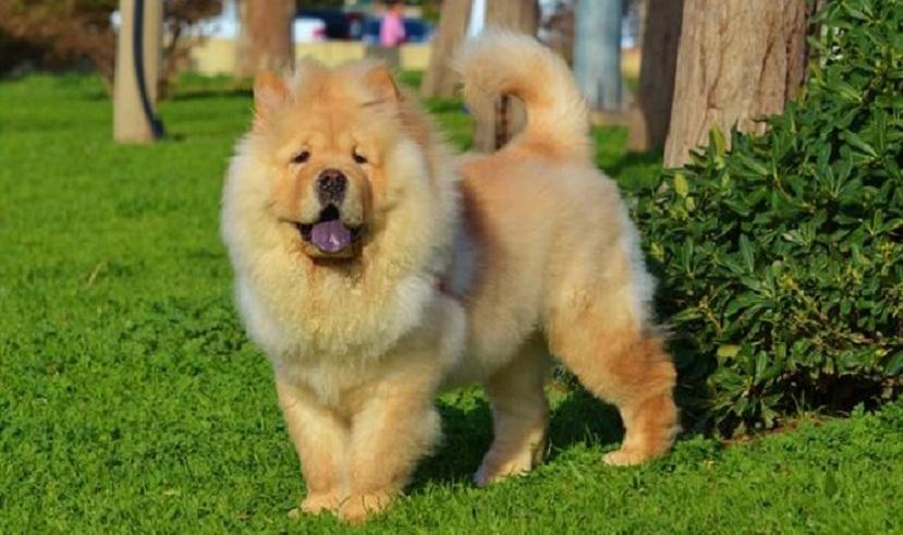 chusky dog