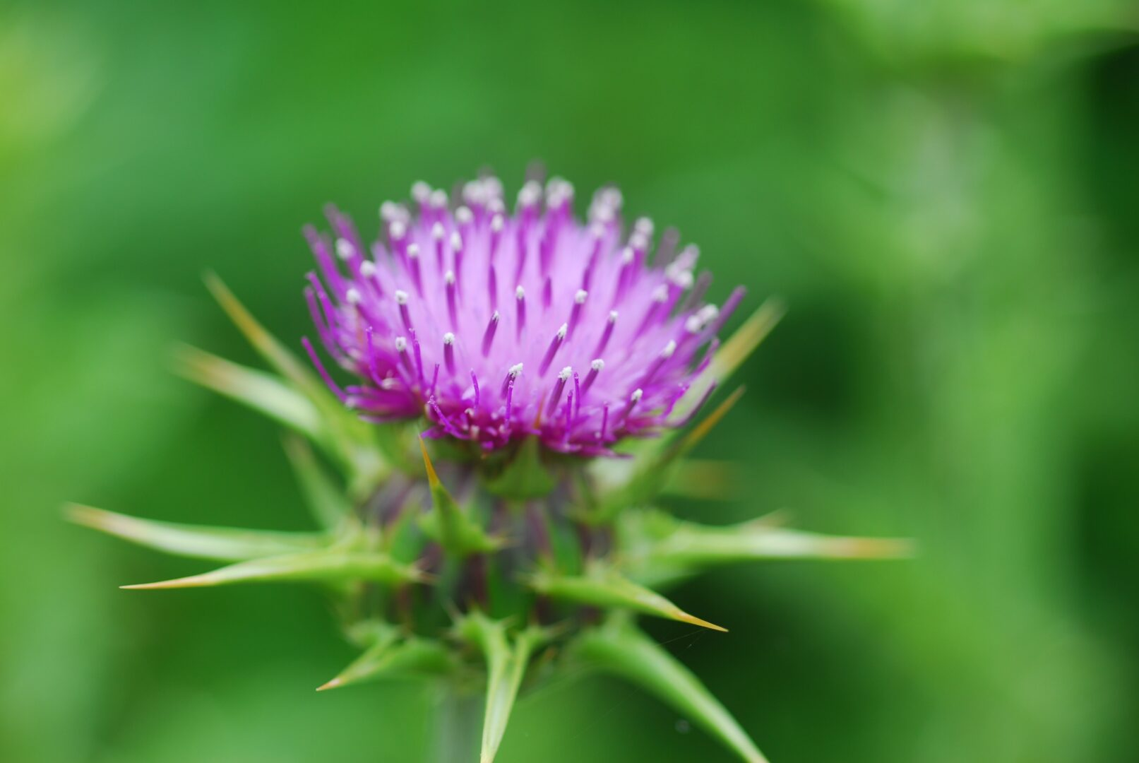Milk Thistle for Dogs - Simply For Dogs